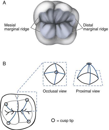 FIGURE 17 3 Occlusal Views Of A Permanent Posterior Tooth Table Highlighted B Triangular Ridges With Close Up The Gothic