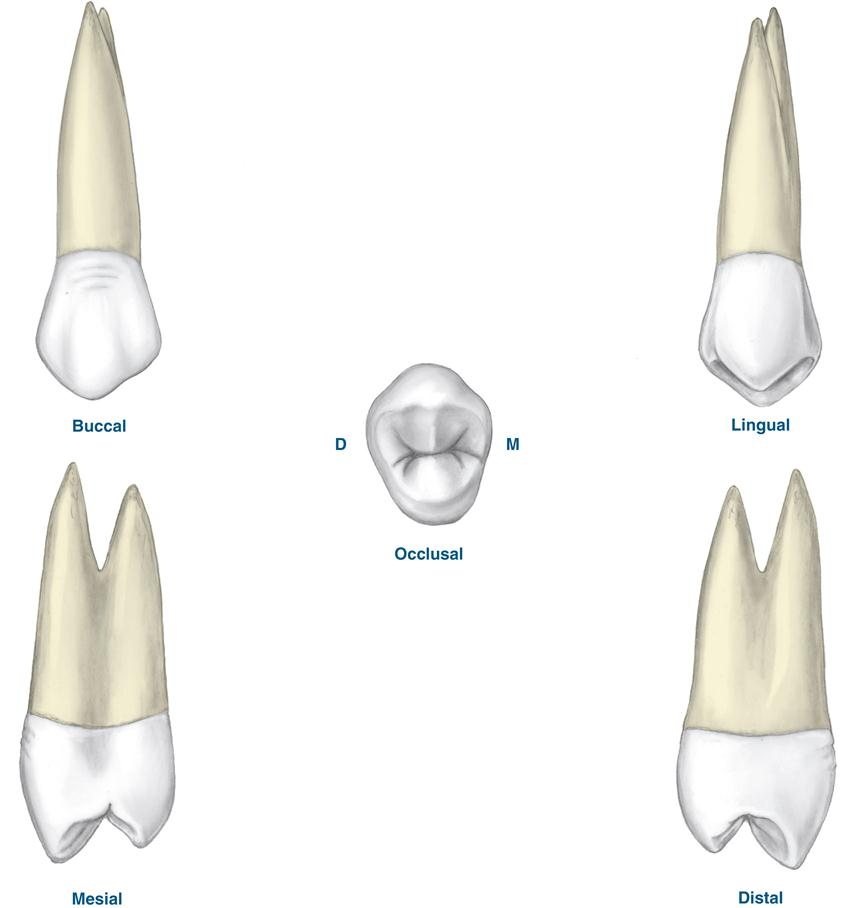17. Permanent Posterior Teeth | Pocket Dentistry