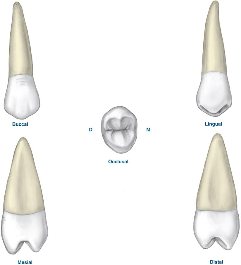 17. Permanent Posterior Teeth | Pocket Dentistry