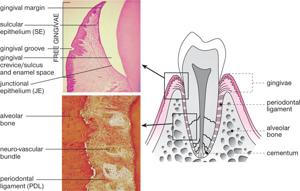 1: A Whistle-Stop Tour of the Periodontium | Pocket Dentistry