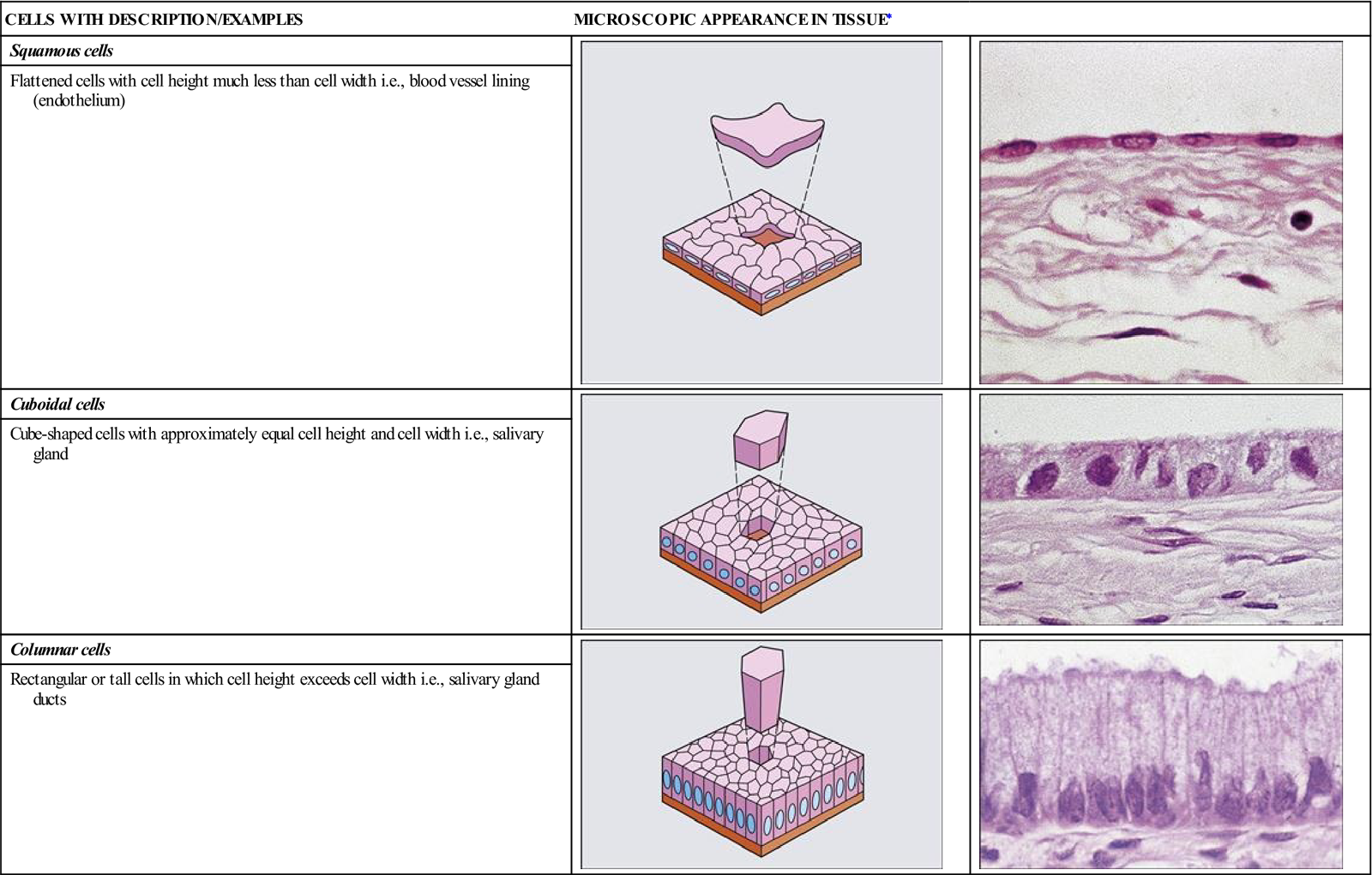 note that these epithelial cells are shown within simple epithelium   diagrams from stevens a, lowe j: human histology, ed 3, mosby, st louis,  2005