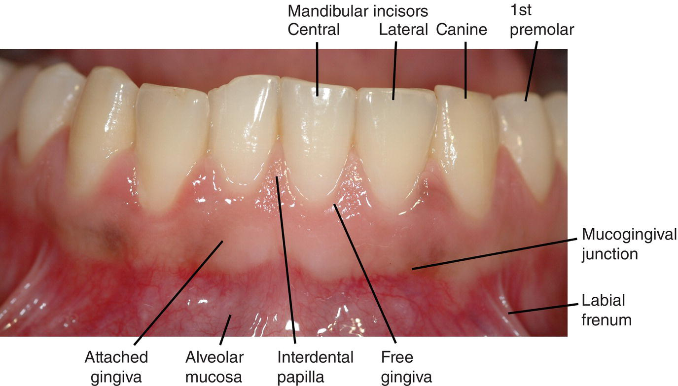 1: Oral Structures and Tissues | Pocket Dentistry