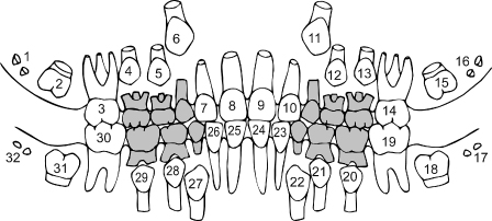Image result for mixed dentition chart