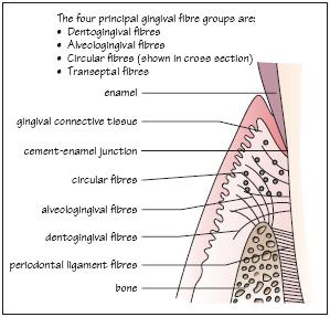 Anatomy of the periodontium