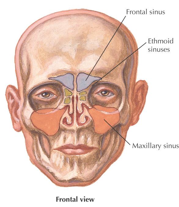 12: Paranasal Sinuses   Pocket Dentistry Inferior Meatus Drains Into