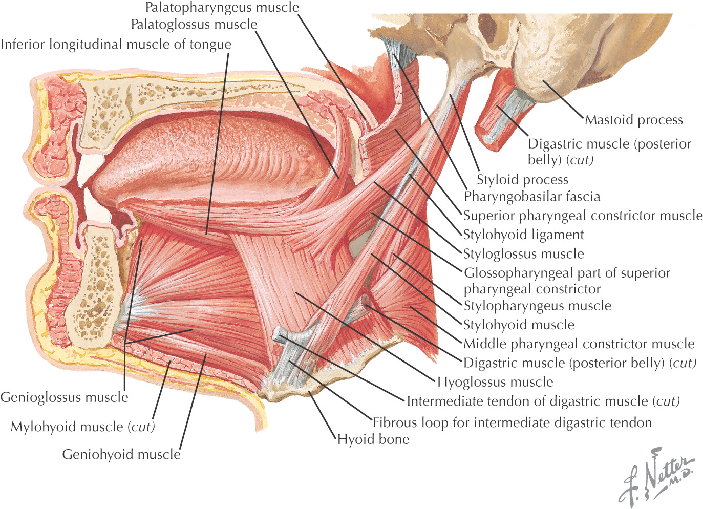 Nice Anatomy Dog Ear Adornment Human Anatomy Images