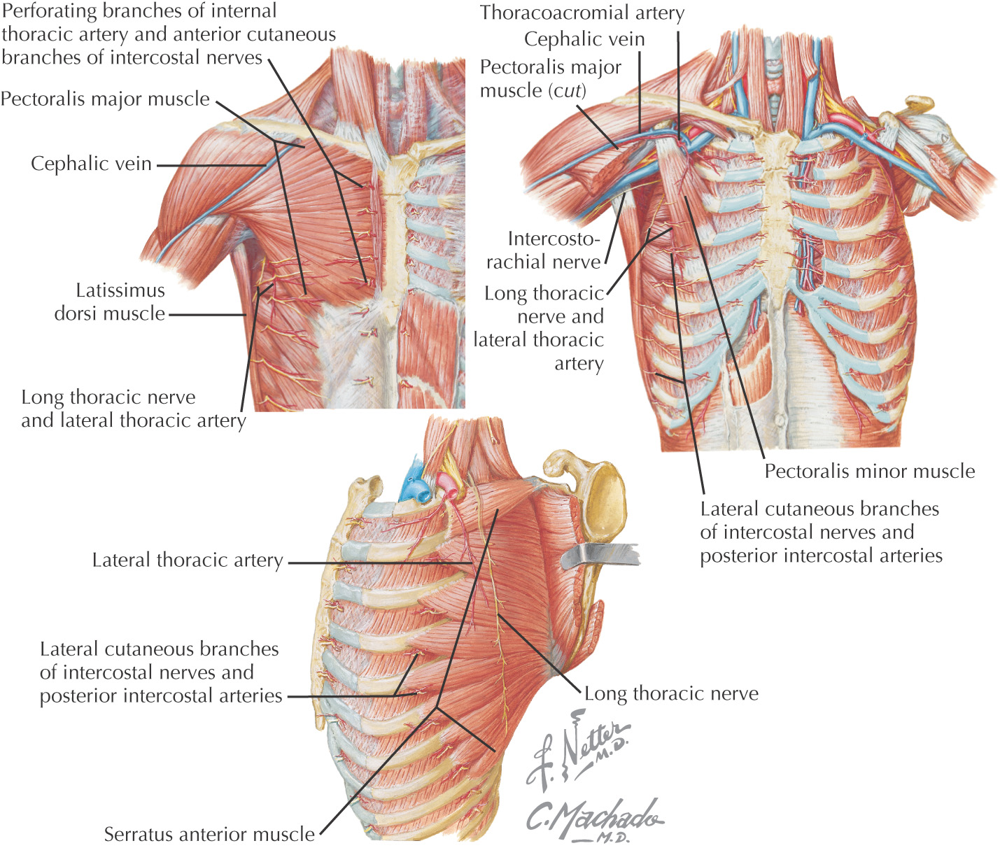 22: Introduction to the Upper Limb, Back, Thorax, and Abdomen ...