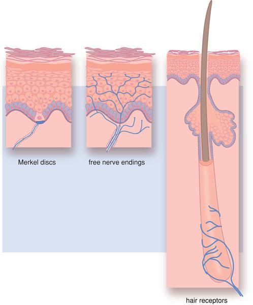 1 Pain And Impulse Conduction Pocket Dentistry