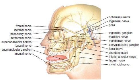 2 Anatomy of the trigeminal nerve | Pocket Dentistry