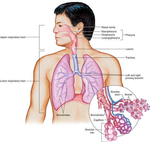 8 Anatomy And Physiology Of Respiration And Airway Management