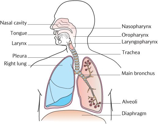 lungs diagram blank