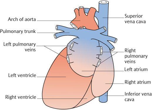 12 The heart, pericardium, and mediastinum | Pocket Dentistry  12 The heart, p...