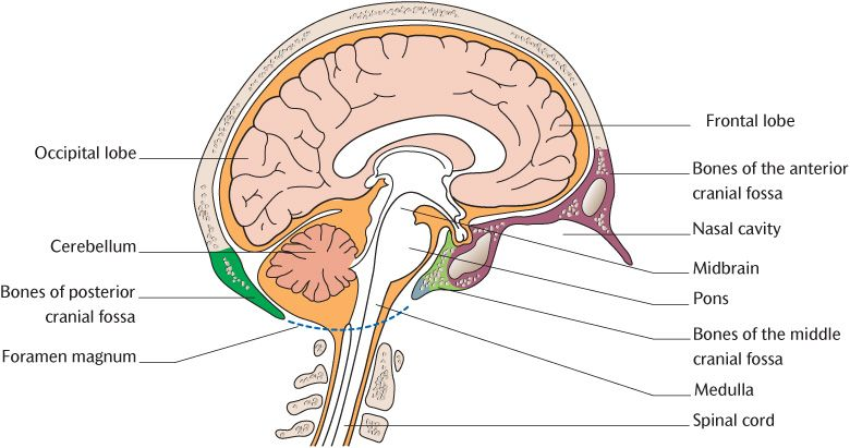 15 the structure of the central nervous system pocket dentistry they separate to enclose the venous sinuses specialized venous channels draining blood from the brain and meningeal blood vessels see section 1516 ccuart Choice Image