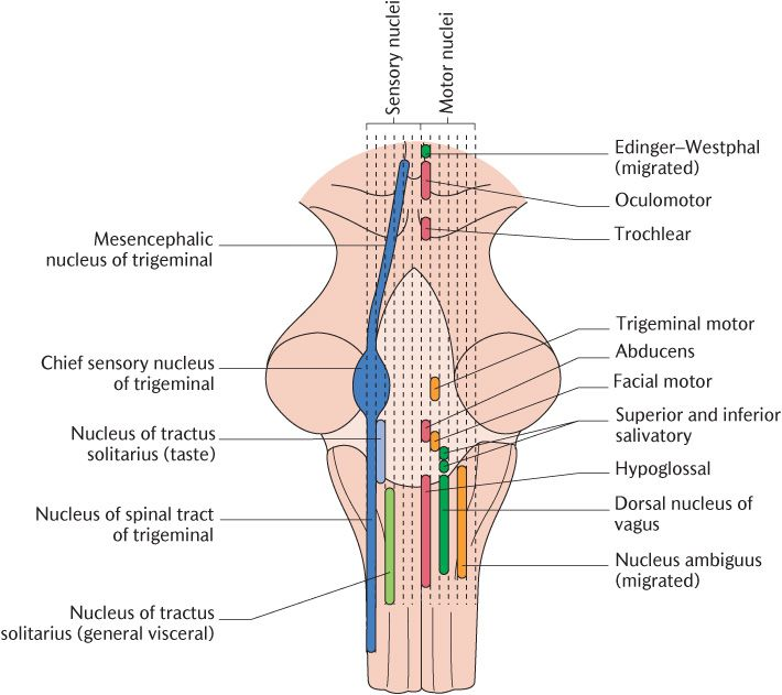 Anatomy Of Cranial Nerves Their Nucleus And Function Interest Photo ...