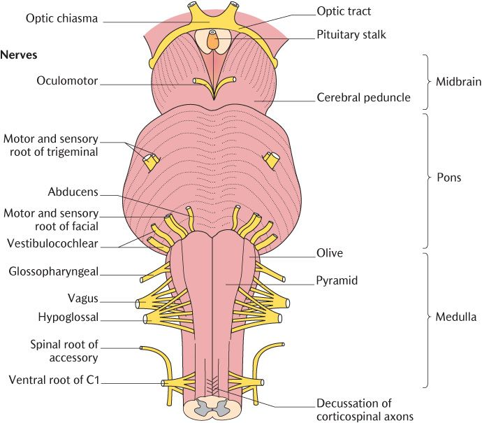 18 The Cranial Nerves Pocket Dentistry