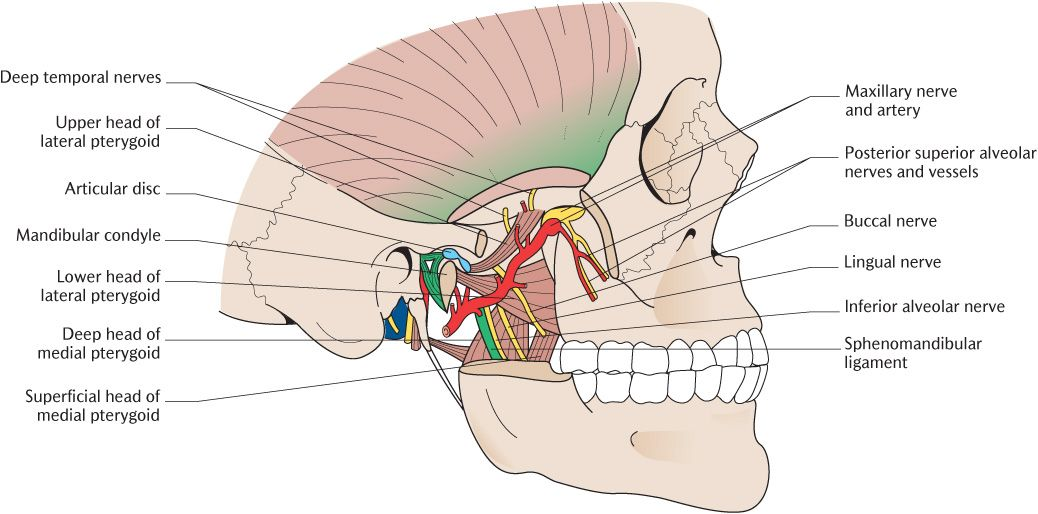 24 The temporomandibular joints, muscles of mastication, and the ...