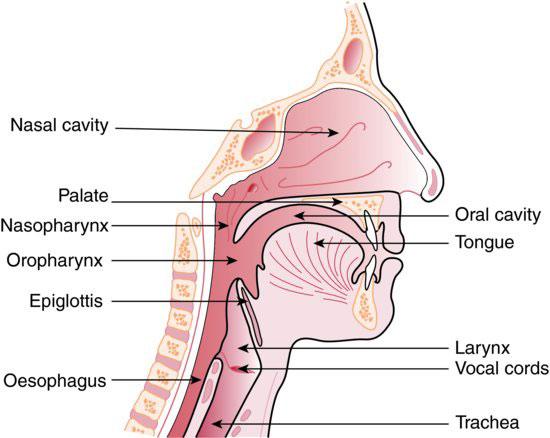 3 Respiratory System Pocket Dentistry