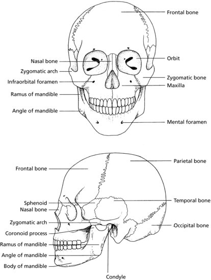 7  skull and oral anatomy
