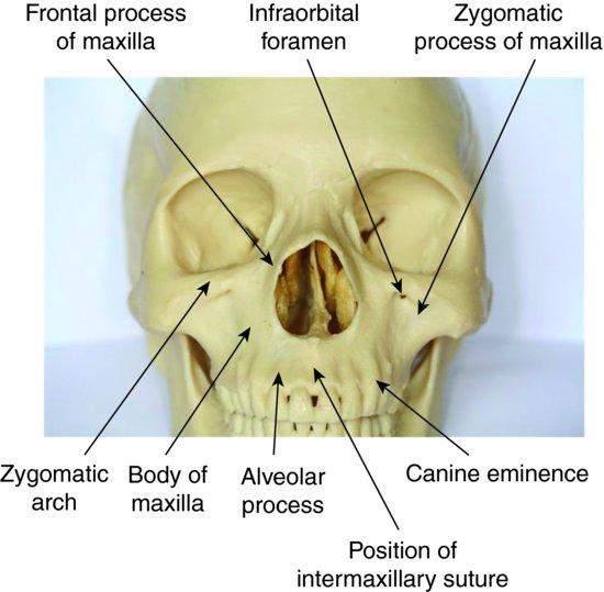 Anatomy of maxilla and mandible