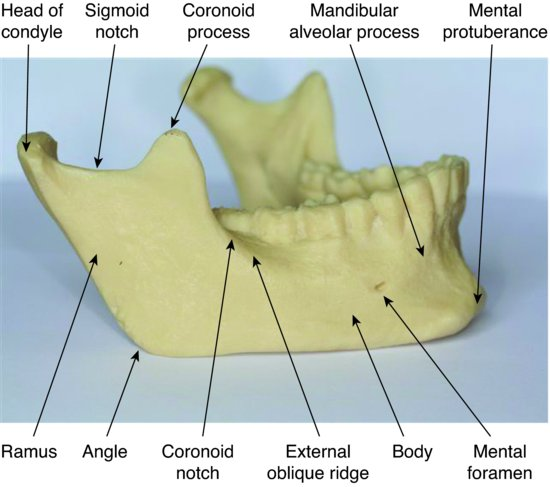 7: Skull and oral anatomy | Pocket Dentistry