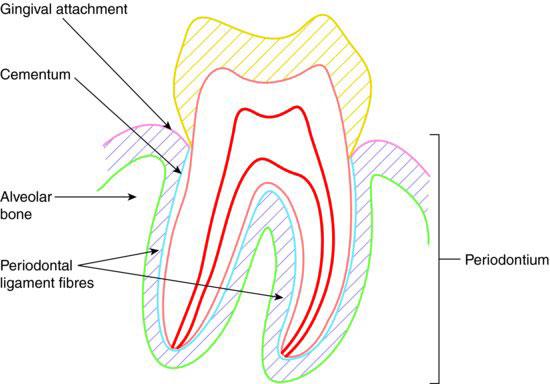 9: Periodontal anatomy | Pocket Dentistry